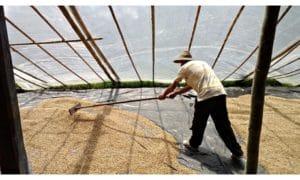 coffee-drying-fairtrade