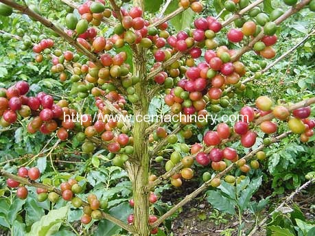 Historical background of coffee in Jamaica