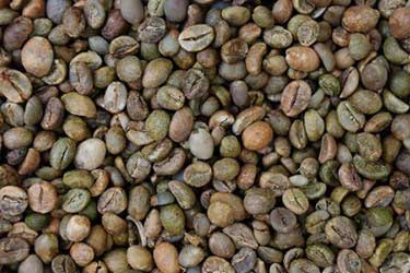 Waste Bacteria Help Coffee Farmers Purify Water